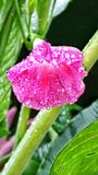 Morning glory. Wild flowers pink water dew drops macro plants close up nature outdoors garden Stock Image
