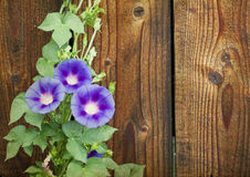 Morning glory Royalty Free Stock Photos