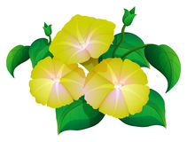 Morning glory in yellow color. Illustration stock illustration