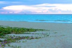 Morning Glorys atthe Beach Royalty Free Stock Photography