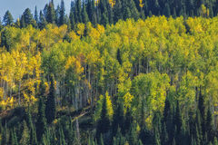 Morning Glow Through the Aspen Stock Photos