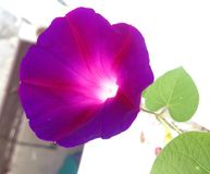 Morning glowry purple. Its a mornig glowry purple flower fully blooming Stock Photo