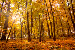 Morning in the Gold Autumn park with sunlight and sunbeams -  Be Royalty Free Stock Image