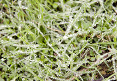Morning grass. Grass lawn with lot of small water drops in it,taken in winter moring Royalty Free Stock Photo