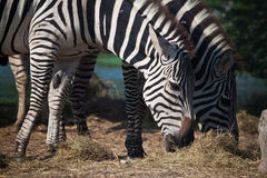 Morning Grass. A pair of zebra are enjoy having their breakfast Royalty Free Stock Images