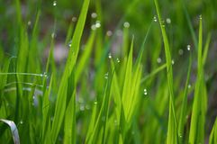 Morning grass. Water drops on morning grass Stock Image