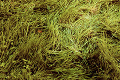 Morning grass Royalty Free Stock Photo
