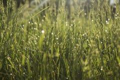 Morning grass royalty free stock photo