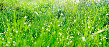 Morning grass dew Stock Image