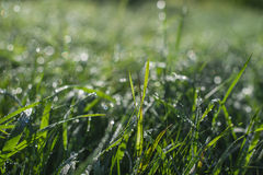 Morning grass with dew Royalty Free Stock Photos