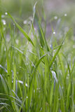 Morning grass with dew drops. Morning dew at the gulf course royalty free stock photos