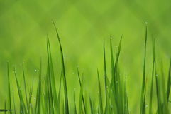 Morning Grass Royalty Free Stock Image