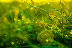 Morning grass after rain in the morning sun backlit. Macro stock image