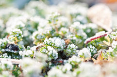 Morning grass and snow Royalty Free Stock Photography