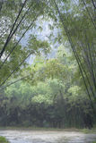 Morning green bamboo forest Royalty Free Stock Photos