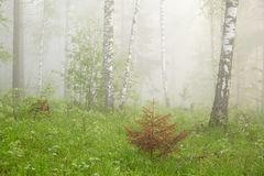 Morning in the misty forest. Morning in the green misty forest n stock photography