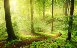 Morning in a green summer forest Royalty Free Stock Photos