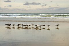 Morning Gulls. An extended family of seagulls takes an early morning beachwalk reflected in the surf Royalty Free Stock Images