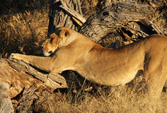 Morning Gymnastics. Lioness Doing Her Morning Stretch, Khwai River, Botswana Stock Image