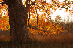 Oak tree in autumn sunrise Royalty Free Stock Images