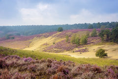 Morning at the heather fields. Foggy morning in the heather fields in the Veluwe National Park, Netherlands Royalty Free Stock Image