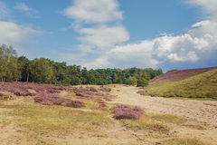 Morning at the heather fields Royalty Free Stock Photography
