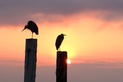 Morning Herons Sunrise Stock Photo