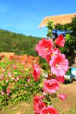 Morning holiday with blue clear sky and pink flower bloom in garden Stock Photos