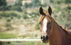 Morning Horse. Ginger-haired horse in the stable is waiting for its breakfast Stock Photography