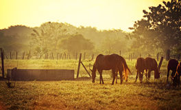 Morning horses. Herd of brown horses grazing in morning sunlight in field Royalty Free Stock Photos