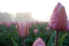 Morning house. House among tulips in the foggy morning sun light Stock Image