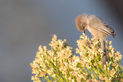 Morning inspection of the flowers. Tiny American Bushtit looking down at the flowes at his feet for insects Royalty Free Stock Images