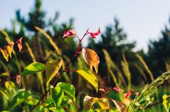 Colorful apricot leaves against the sky and herbs. Soft selective focus royalty free stock photography