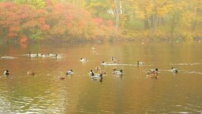 Morning lake ducks water stock footage