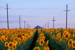 Morning landscape with a field of sunflowers Stock Image