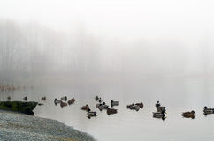 Morning landscape over foggy misty lake with duck Stock Image