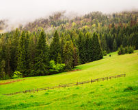 Morning landscape of pine forest Stock Images