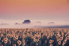 Morning vintage landscape with sunflowers field stock photos