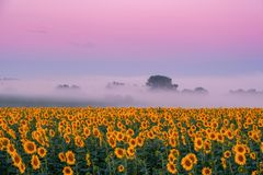Morning landscape with sunflowers field royalty free stock photo