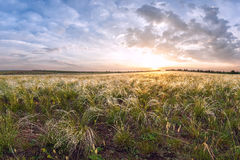 Morning in a large meadow with a feather grass Royalty Free Stock Images