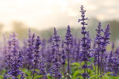 Morning Lavender Stock Images