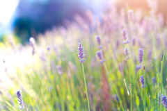 Morning Lavender. Some nature objects. Flowering lavender Stock Images