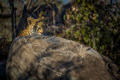 Morning leopard Royalty Free Stock Photography