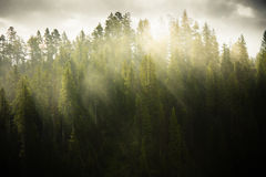 Morning Light. Morning sunlight shining through pine trees Stock Photos