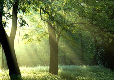 Morning light. Morning sunrays in the forest Royalty Free Stock Image