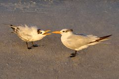 Morning Light on Baby Royal Tern with Mother Royalty Free Stock Photography