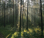Morning light beams in forest. Morning light beams in the misty forest Royalty Free Stock Photography