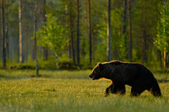 Morning light with big brown bear. Beautiful brown bear walking around lake in the morning sun. Dangerous animal in nature forest Stock Photos