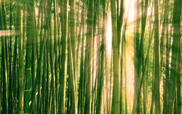 Morning light breaking through a bamboo forest. Golden rays of the morning sun breaking through a bamboo forest Stock Photo
