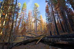 Morning light on burned trees after wildfire, Lassen National Park. Morning light on burned trees and logs after wildfire, Lassen National Park Stock Photos